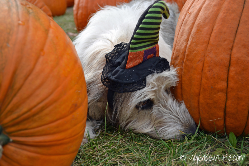 My GBGV Life sniffing at the pumpkin patch