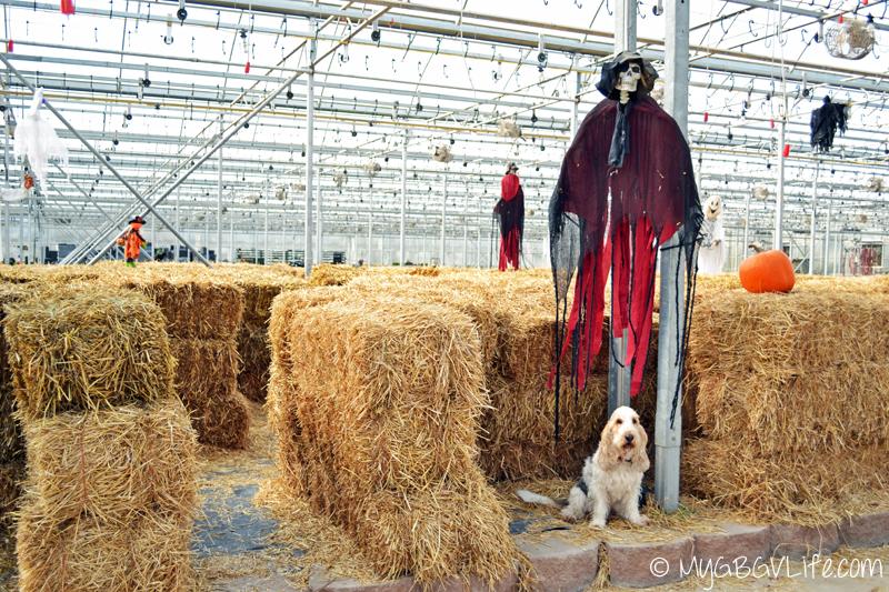 My GBGV Life at hay bale maze at garden center