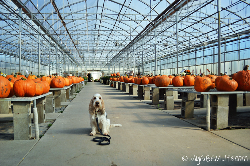 My GBGV Life pumpkins at the garden center in the greenhouse