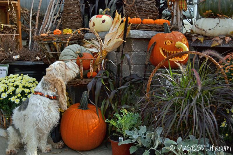 My GBGV Life sniffin pumpkins at the garden center