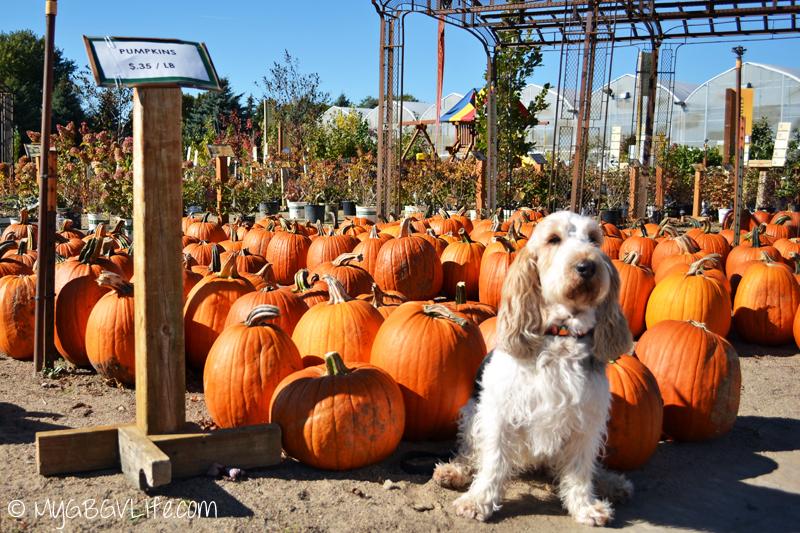 My GBGV Life with pumpkins at the garden center
