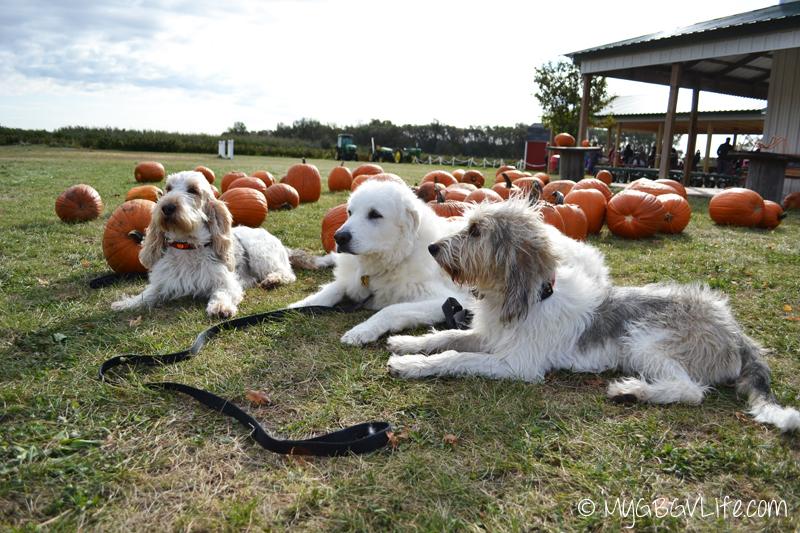 My GBGV Life the pumpkins at the pumpkin patch