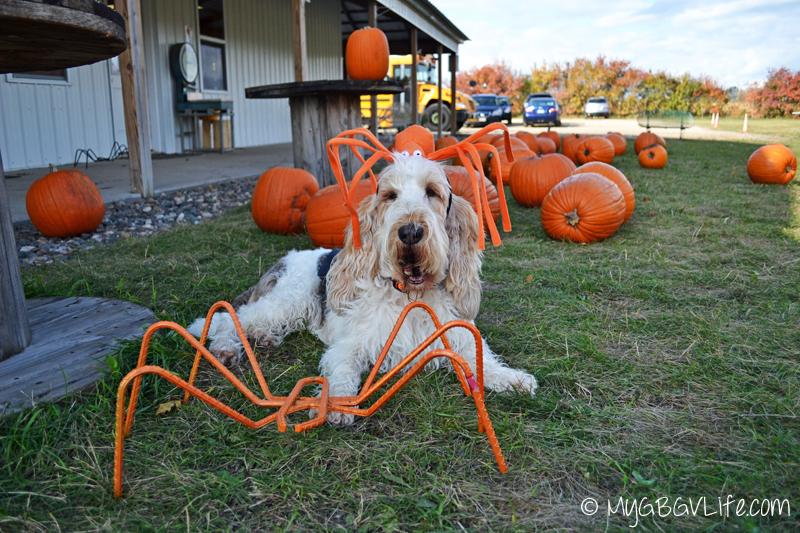 My GBGV Life pumpkin holder at the pumpkin patch