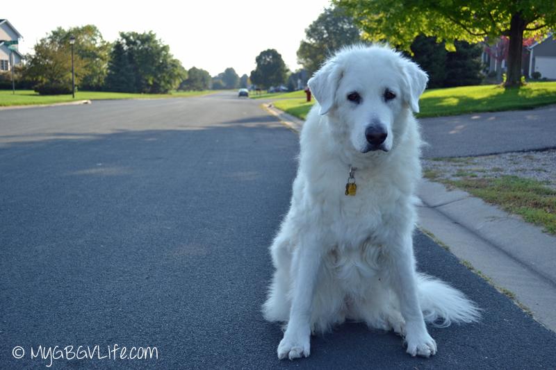 My GBGV LIfe senior dog katie doing squats