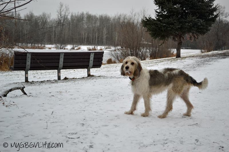 My GBGV Life Bailie at he dog park