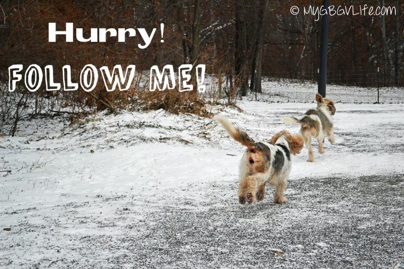 My GBGV Life Running at the dog park