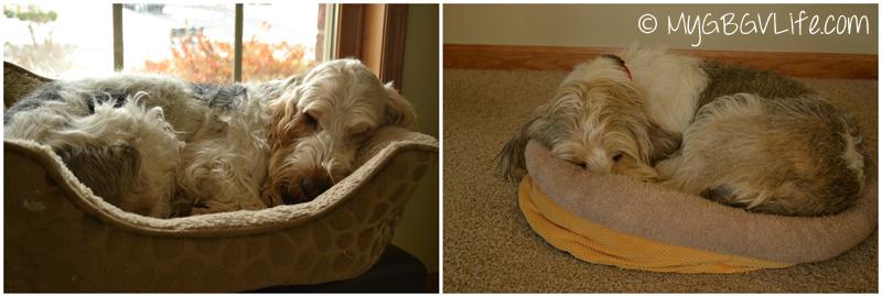 My GBGV Life sleeping after the dog park