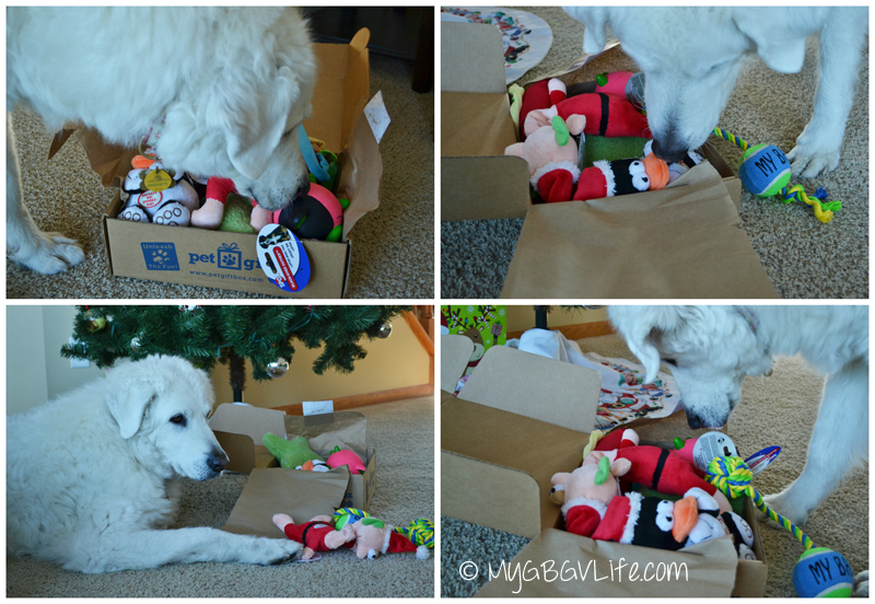 My GBGV Life Kuvasz with Pet Gift Box