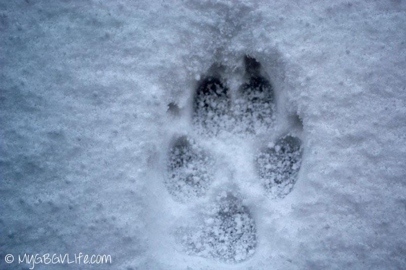 My GBGV Life winter paw print