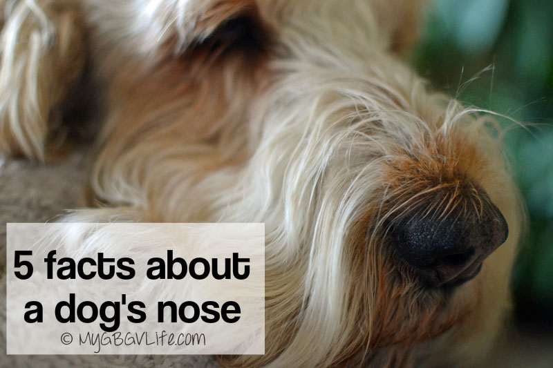 My GBGV Life 5 facts about a dog's nose