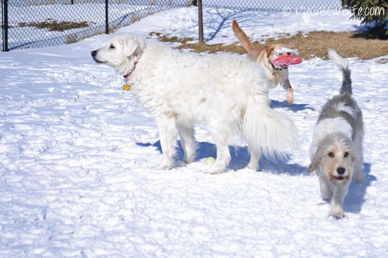 My GBGV Life three dog motion