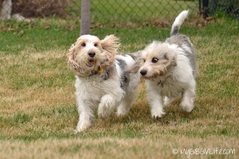 My GBGV LIfe do hounds fly