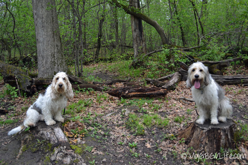 My GBGV Life how to get lost with dogs on logs
