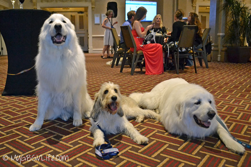 My GBGV Life PR Dog Bailie with Mauja and Atka at BlogPaws 2015 in Nashville