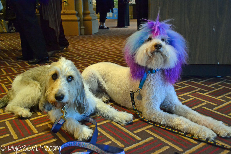 My GBGV Life PR Dog Bailie with Chilly at BlogPaws 2015 in Nashville