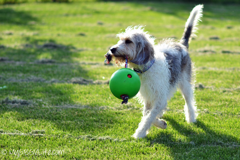 My GBGV Life enjoying her tuggo dog toy