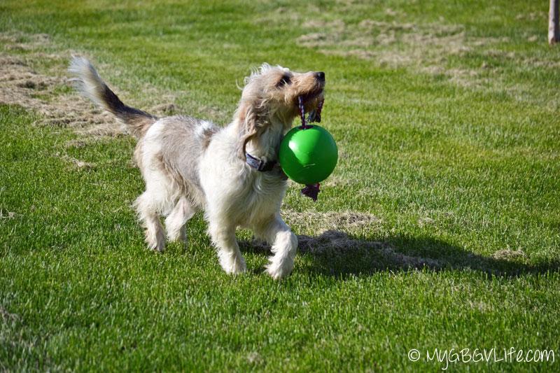 My GBGV Life carrying the tuggo dog toy