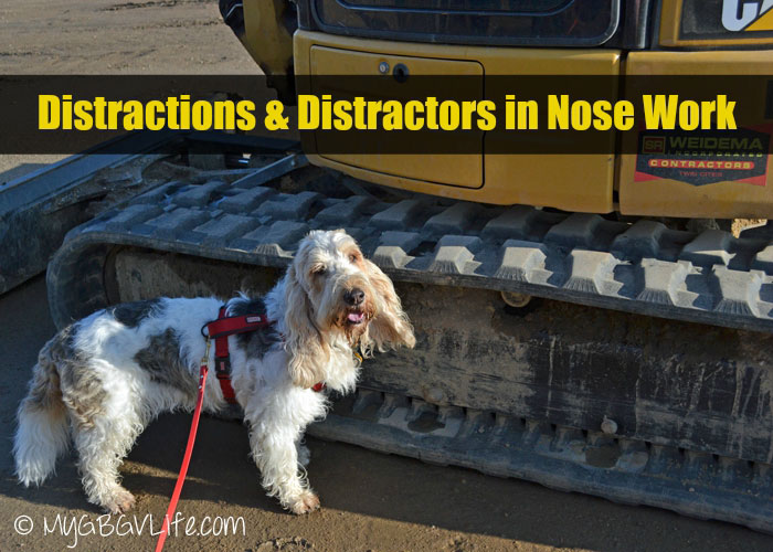 My GBGV Life distractions and distractors in nose work searches