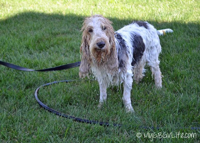 My GBGV Life getting a yard bath