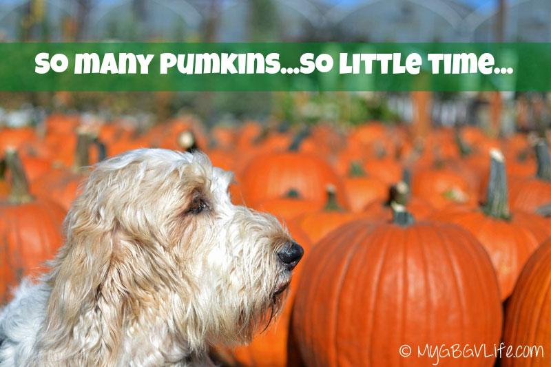 My GBGV Life so many pumpkins so little time