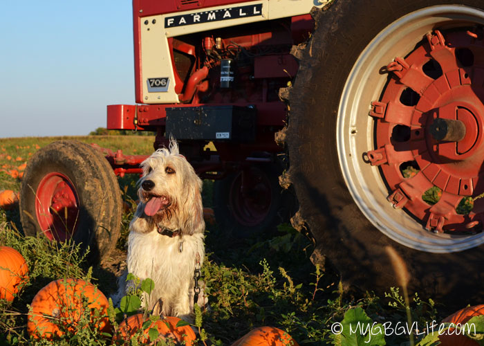 My GBGV Life more pumpkins by the tractor