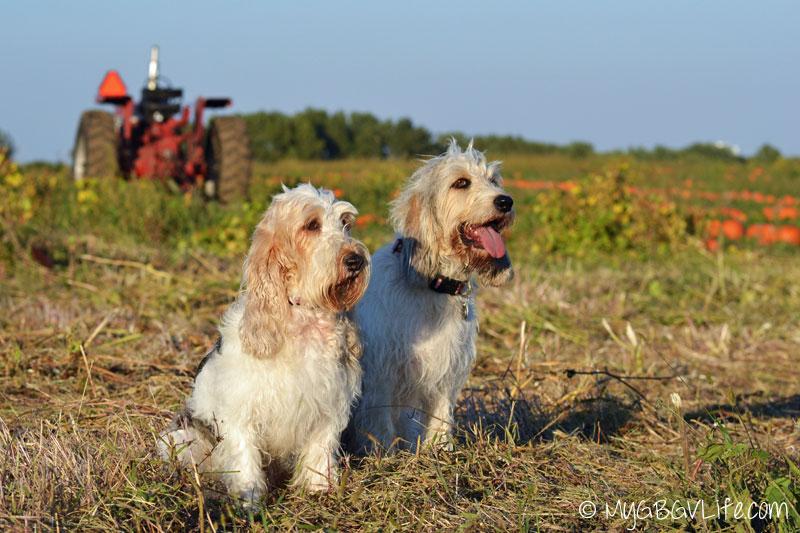 My GBGV Life pumpkin hounds search for the great pumpkin