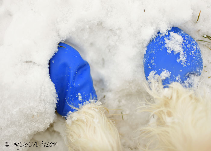 My GBGV Life fitness tips for dogs, wear boots after is snows