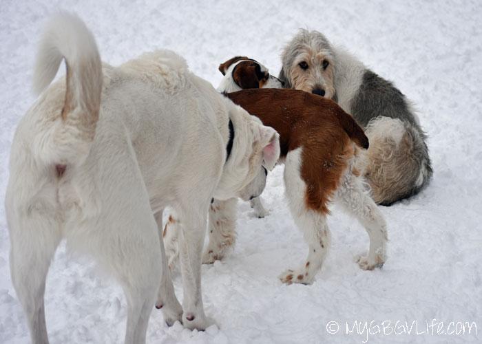 My GBGV Life three dogs sniff Bailie