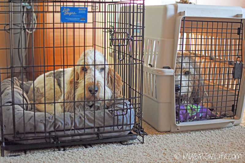 My GBGV Life Can a dog crate train herself
