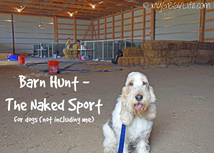 My GBGV Life Barn Hunt - The Naked Sport