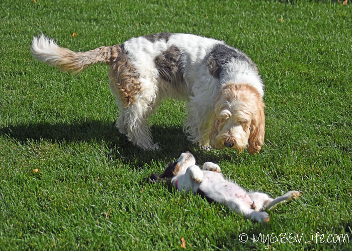 My GBGV Life Proper Puppy Enrichment Is Important - Madison's First Two Weeks