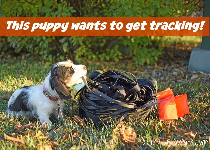My GBGV Life Puppy Tracking - What Age Should Training Start?