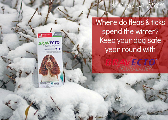 My GBGV Life Where Do Fleas And Ticks Spend Winter? Emma Tells All! #12BRAVECTO
