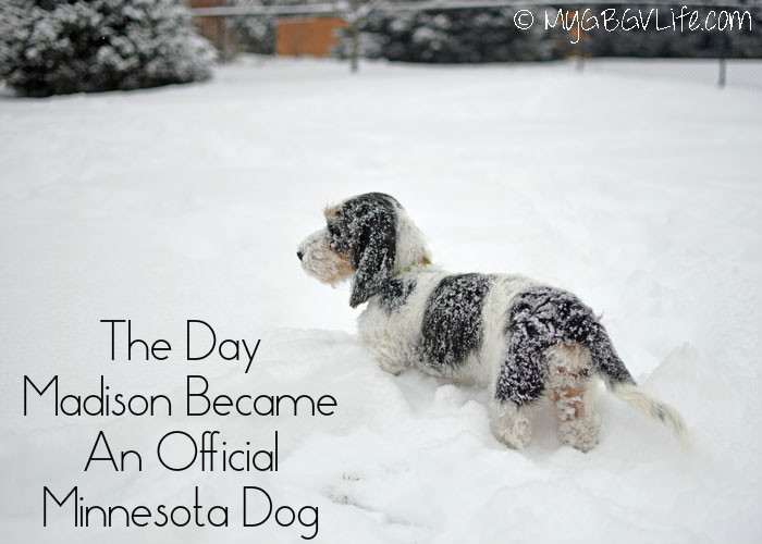 My GBGV Life The Day Madison Became An Official Minnesota Dog