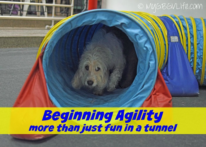 My GBGV Life Beginning Agility - More Than Just Fun In A Tunnel