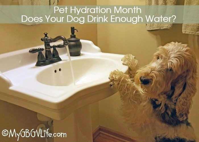 My GBGV Life Pet Hydration Month - Does Your Dog Drink Enough Water?