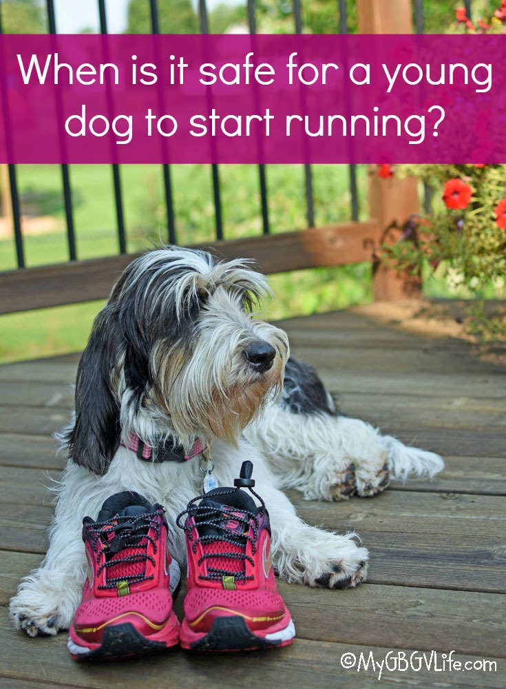 My GBGV Life When Is It Safe For A Young Dog To Start Running?