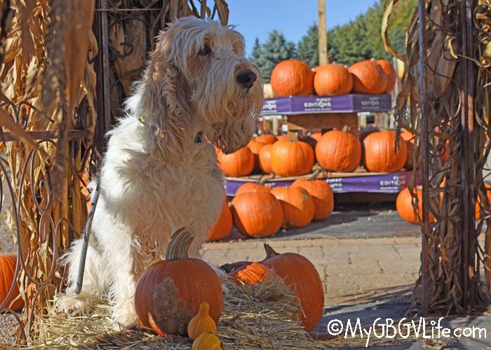 My GBGV Life Pumpkin Shopping - So Many Pumpkins, So Little Time