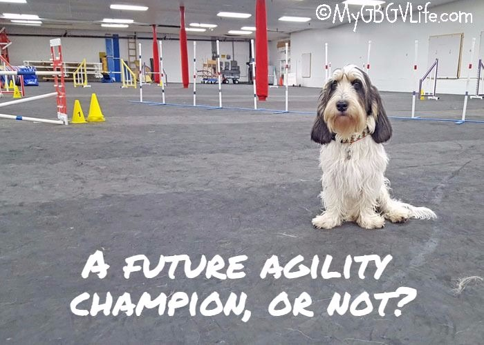 My GBGV Life The Making Of A Future Agility Champion, Or Not?
