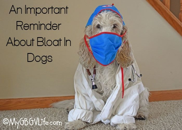 My GBGV Life A Reminder About Bloat In Dogs