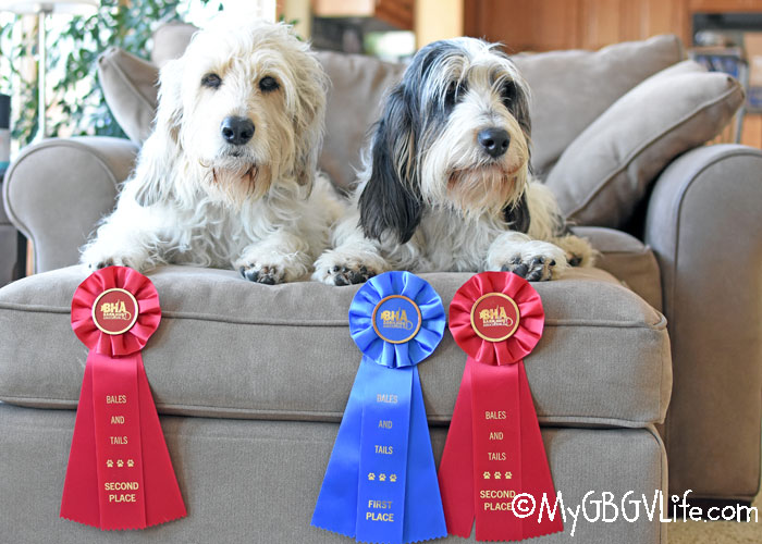 My GBGV Life The Race For The Barn Hunt Open Title - The Winner Is...