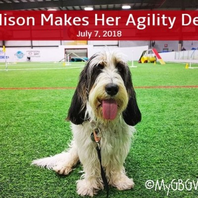 Madison Begins Her Grand Agility Career With Success