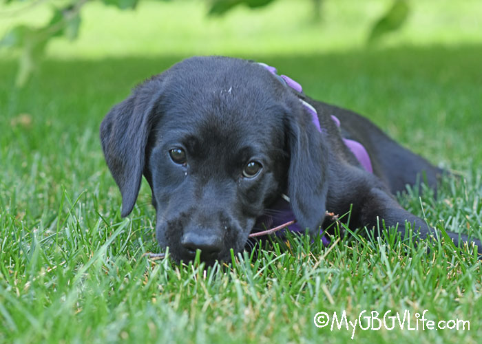 My GBGV Life Madison Meets Black Lab Puppy Quinn In The Backyard