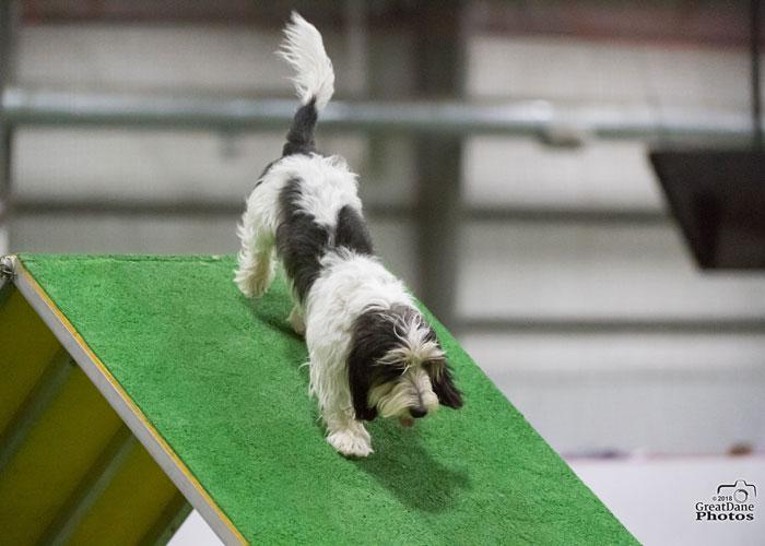 My GBGV LifeHow Does A Happy Agility Dog Look?