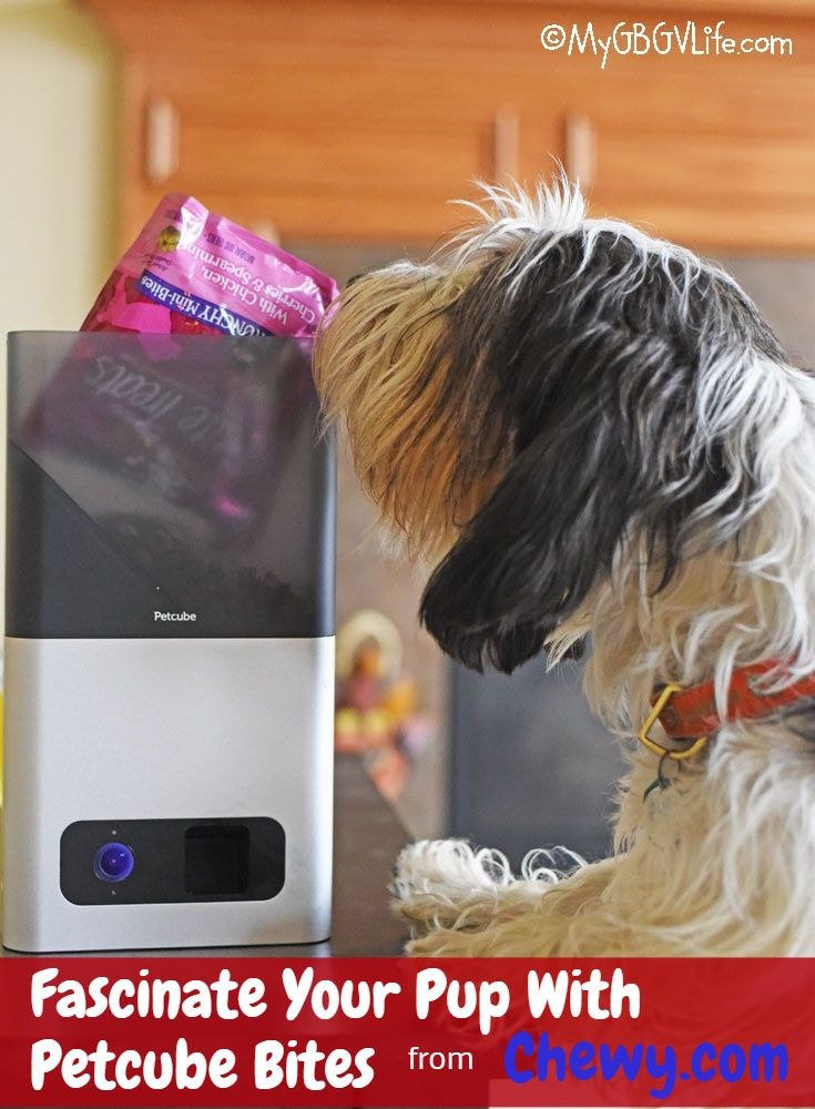 My GBGV Life Give Your Dog The Gift Of Petcube Bites #ChewyInfluencer