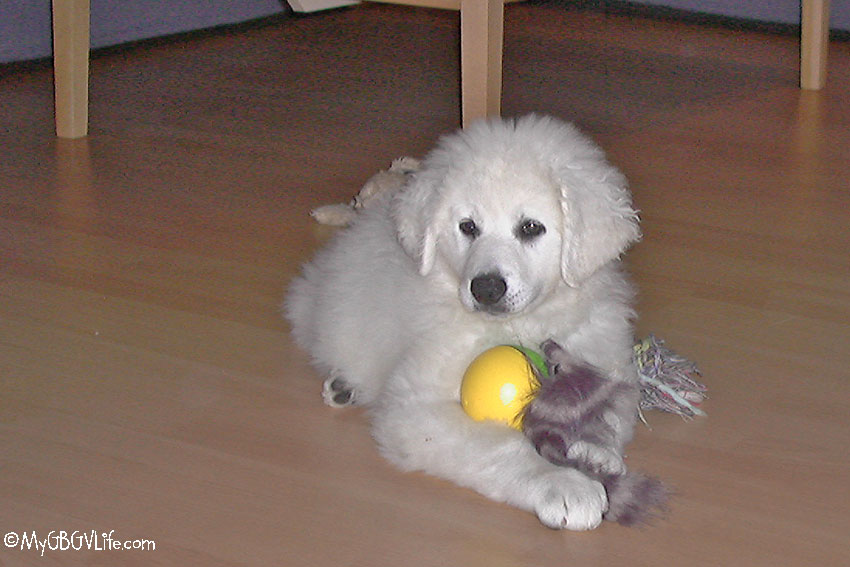 My GBGV Life Katie as a puppy