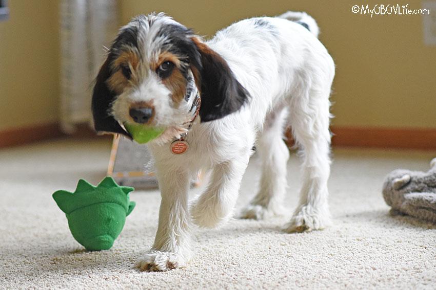 My GBGV Life Olivia plays fetch