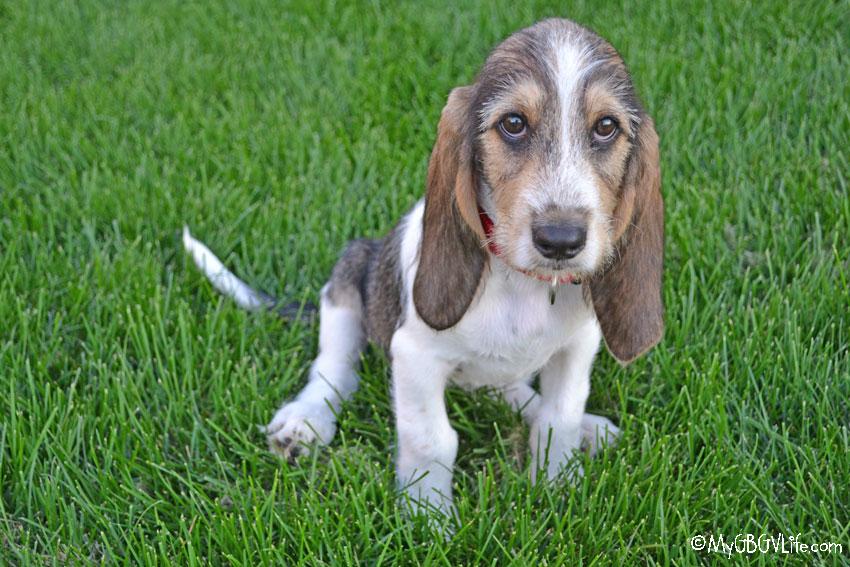 My GBGV Life puppy bailie