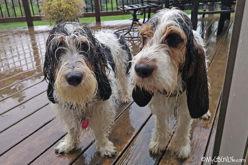 My GBGV Life wet dogs