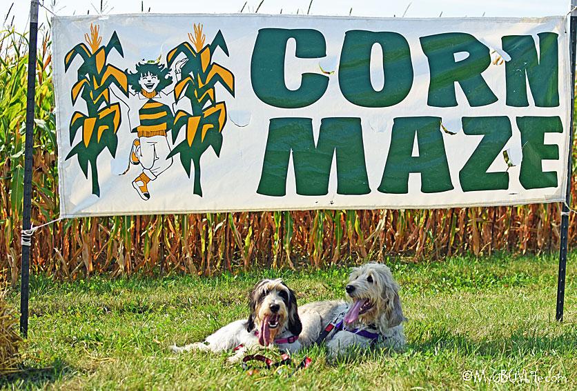My GBGV Life corn maze